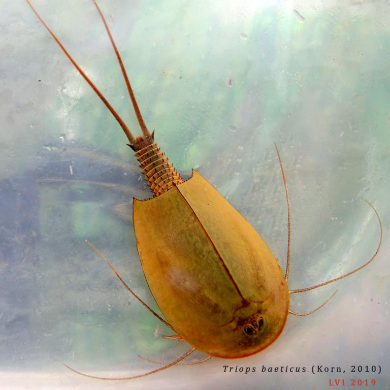 Triops baeticus