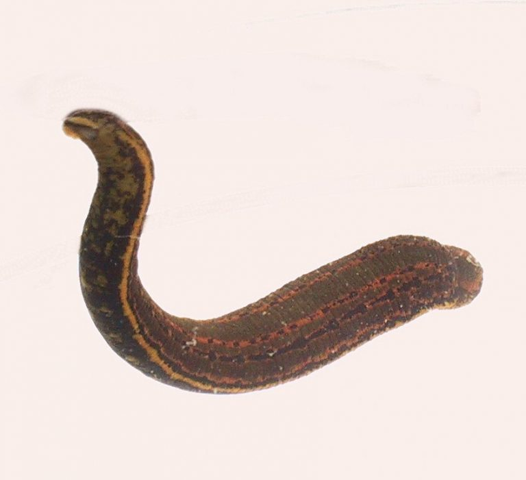 Hirudo medicinalis (anexo V)