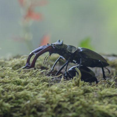 Ordem Coleoptera | Escaravelhos