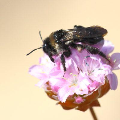 Ordem Hymenoptera |  Formigas e abelhas
