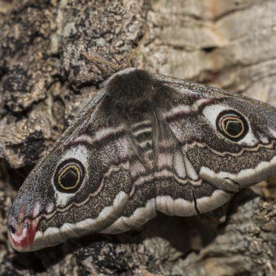 Ordem Lepidoptera |  Borboletas