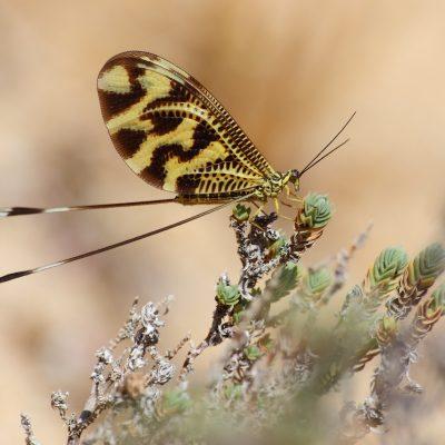 Ordem Neuroptera |  Formigas-leão, crisopas e libelóides
