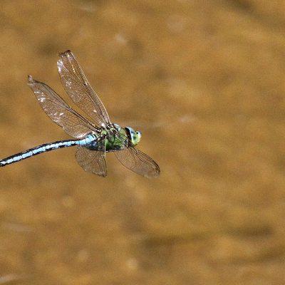 Ordem Odonata |  Libélulas e libelinhas