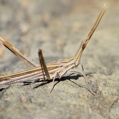 Ordem Orthoptera |  Gafanhotos, grilos e saltões